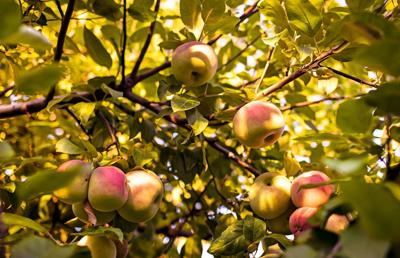 How a thriving business was built around America's favorite fall fruit: apples