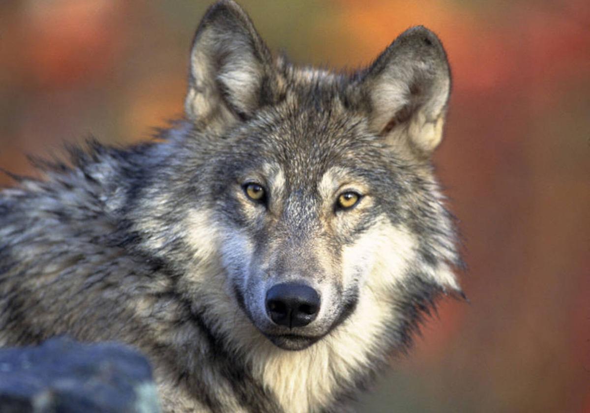 Gray wolf