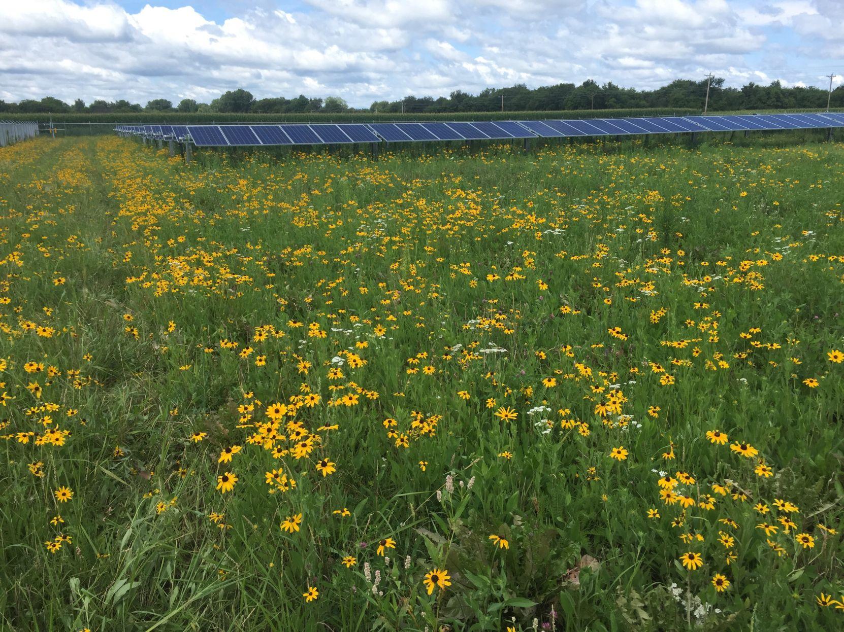 Solar farm with pollinators