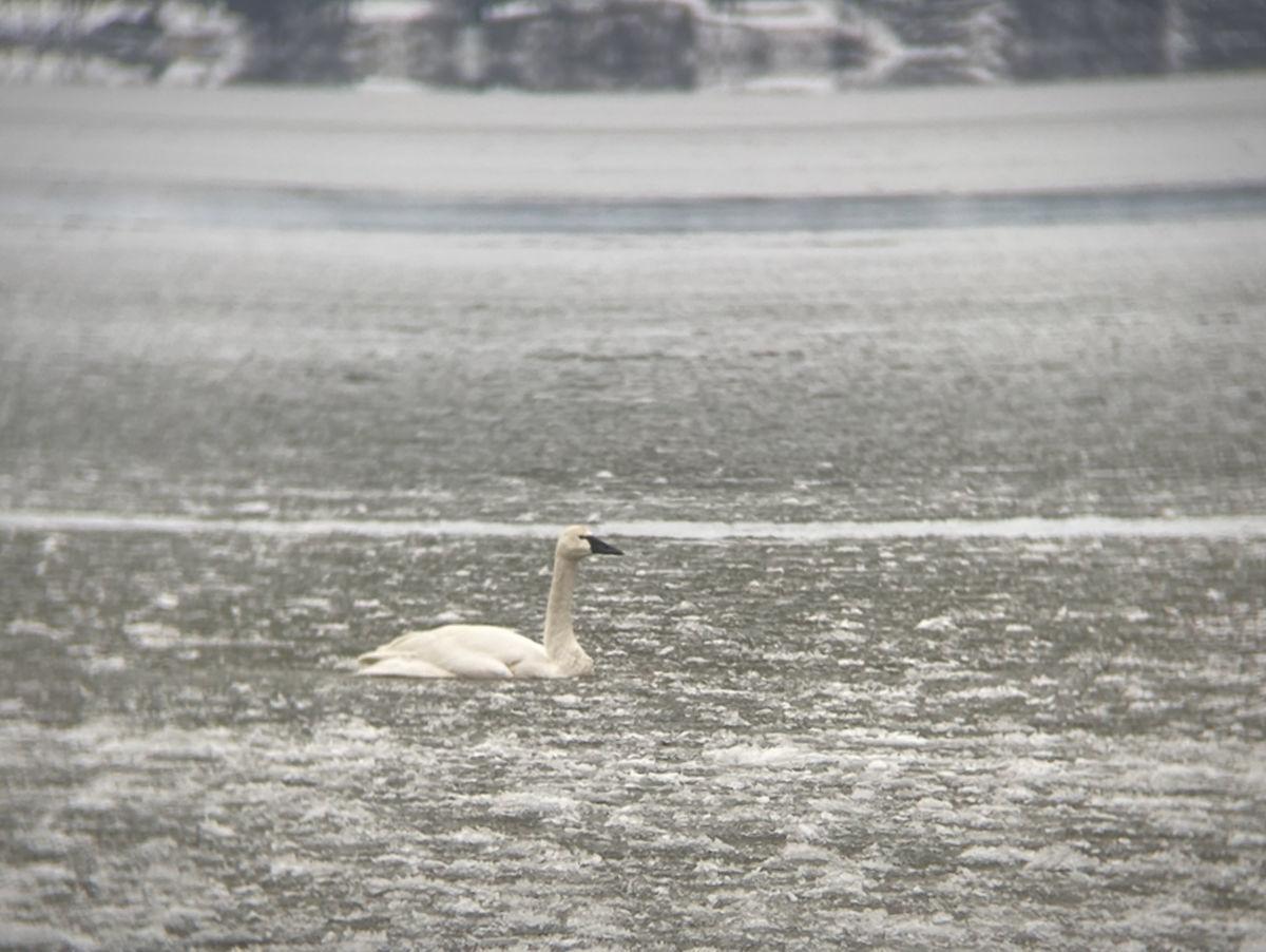 Stranded swan