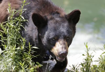 DNR board OKs bear revisions, disallows hounds in new zone