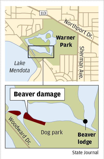 Beaver traps removed from Madison park after public outcry ... on dayton state map, dupont state map, quintana roo state map, kentucky state map, kenosha state map, n.c. state map, northern wisconsin state map, deerwood campus map, yale state map, spokane state map, augusta state map, tucson state map, hillsdale state map, kent ohio, saginaw valley map, north east region state map, rochester state map, walla walla state map, montgomery state map, northern minnesota state map,