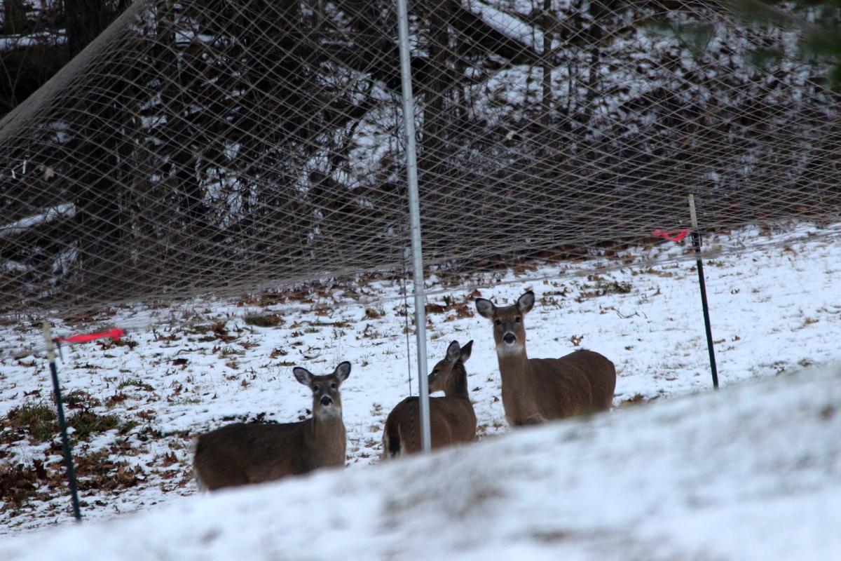 Three deer feed