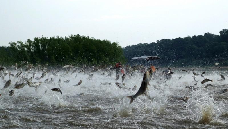 Illinois River silver carp