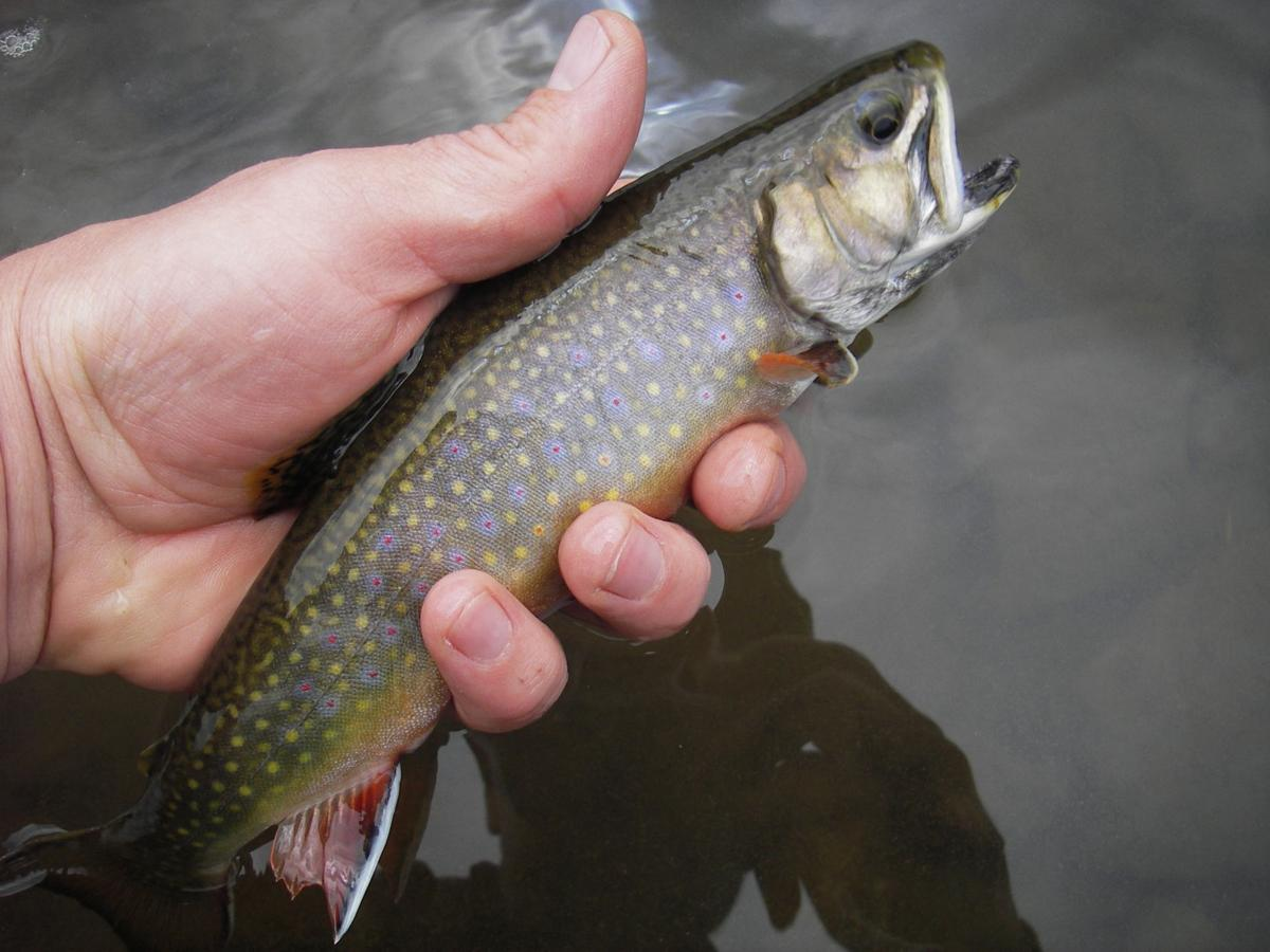 Brook trout released