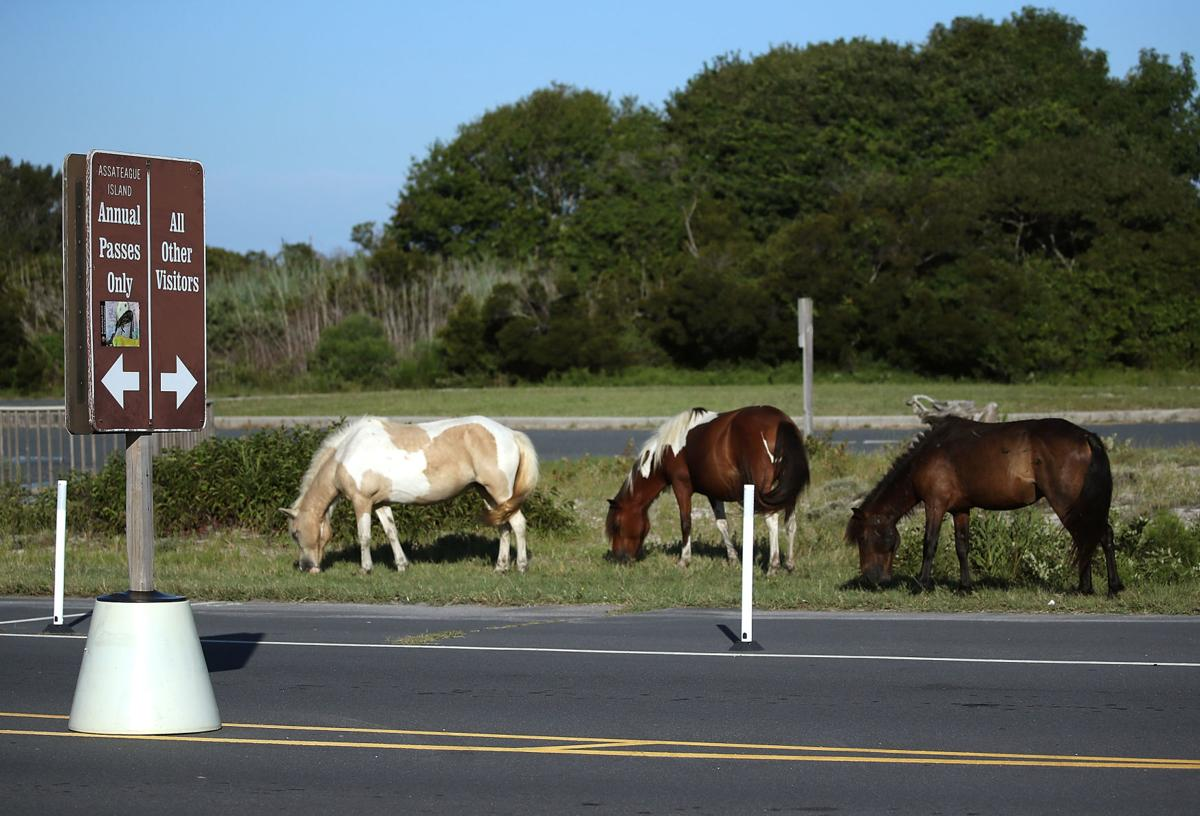 ASSATEAGUE ISLAND, MD - AUGUST 24:  Wild ponies roams free, August 24, 2016 on Assateaque Island, Maryland.  Assateaque Island National Seahore has a combined total of over 300 wild ponies between Maryland and Virginia, and are belived to have originlally came from a Spanish cargo ship that sank offshore in the 1600s.