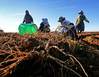 Ginseng Continues Rebound In Central Wisconsin Local News
