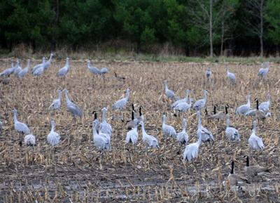 Sandhill Cranes Study Lake Wingra As >> Patrick Durkin Sandhill Cranes Are Indeed Shot By Permission In