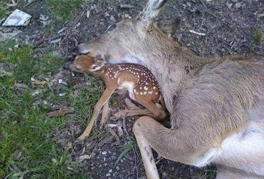 Deer (Madravenspeak)