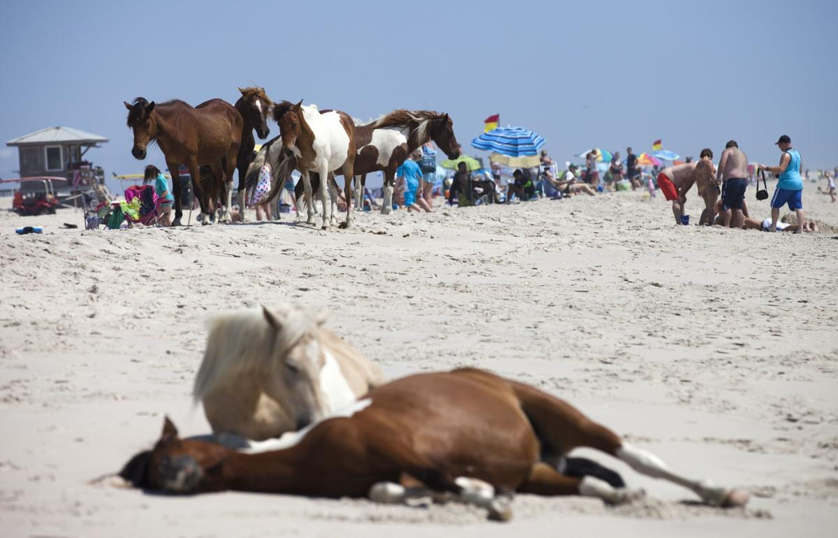 Wild horses relax on a beach near sunbathers on Assateague Island, Maryland on June 30, 2015.The horses on the island are decedents of domestic animals, that have reverted to a wild state most likely because they were first brought to the barrier island in the late 17th century by mainland owners to avoid fencing laws and taxation of livestock, according to the National Park service.