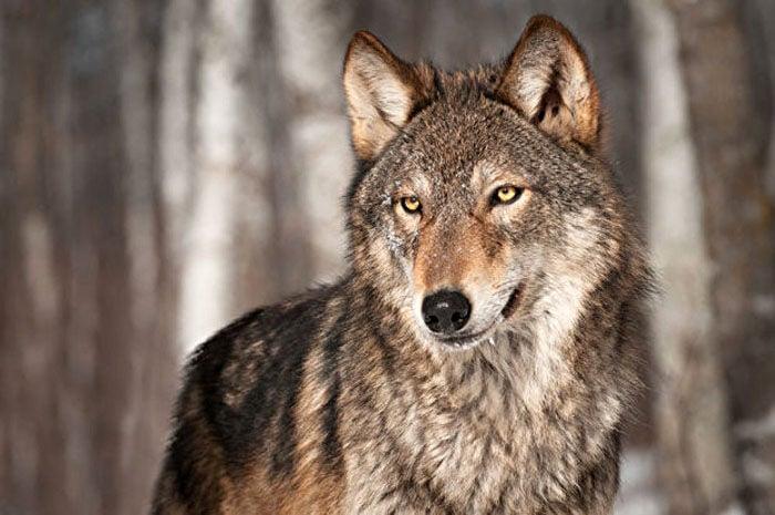Wolf population (copy)