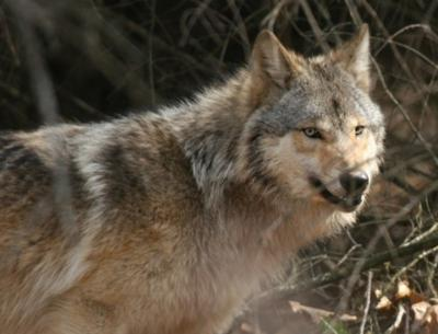 Gray wolf in woods near Wisconsin Dells file photo