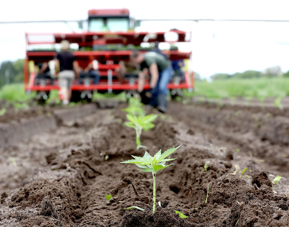 A hemp revival spreads across Wisconsin, creating a new