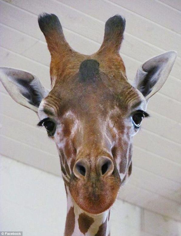 Wally the giraffe