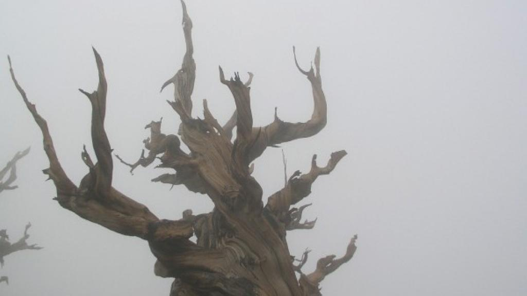Walking Past Ghost Tree In Madisons >> Picturesque Trees Are Also The Oldest In The Ancient Bristlecone