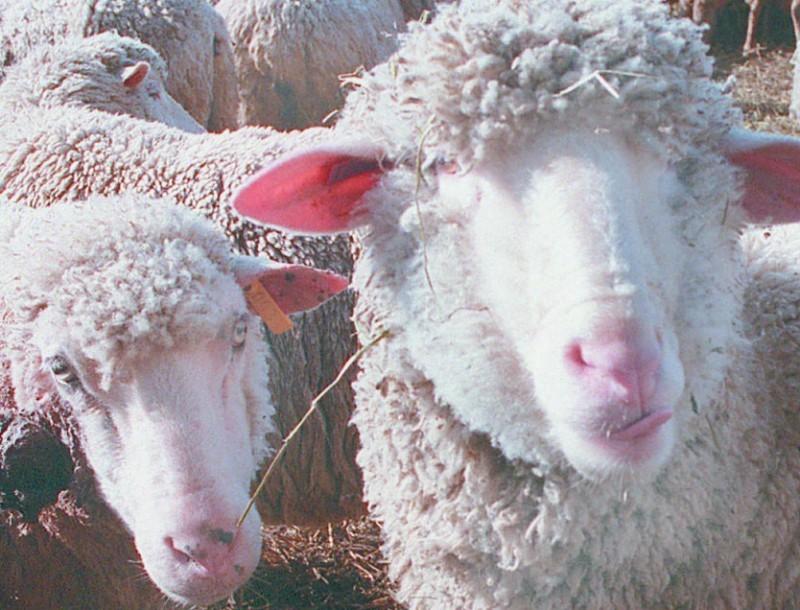 Sheep Ewes 4 3 97