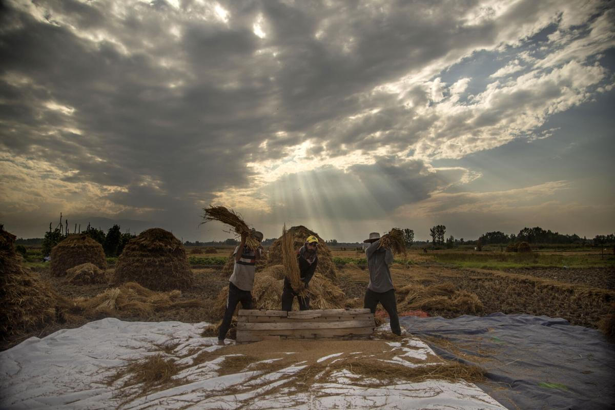 APTOPIX India Kashmir Agriculture