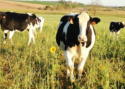 Holstein heifers grazing cover crops (copy) (copy)
