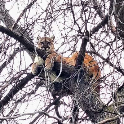 Adult lion in a tree