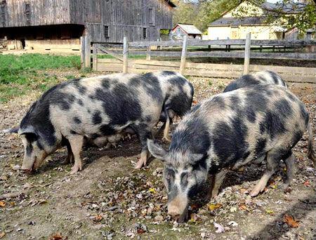 Ossabaw Island pigs