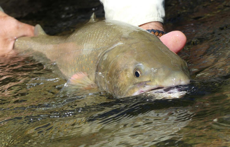 Bull trout