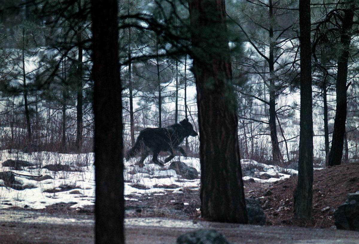 Wolf - Frank Church-River of No Return Wilderness