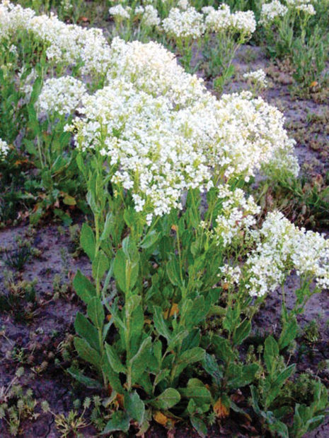 Idahoans Warned To Watch for Whitetop Weed | Southern Idaho Local ...