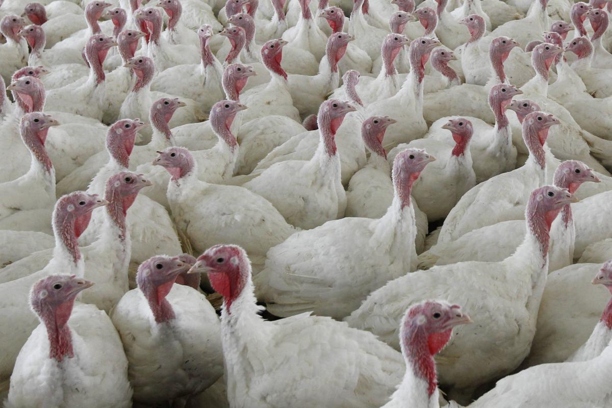 Turkey Salmonella