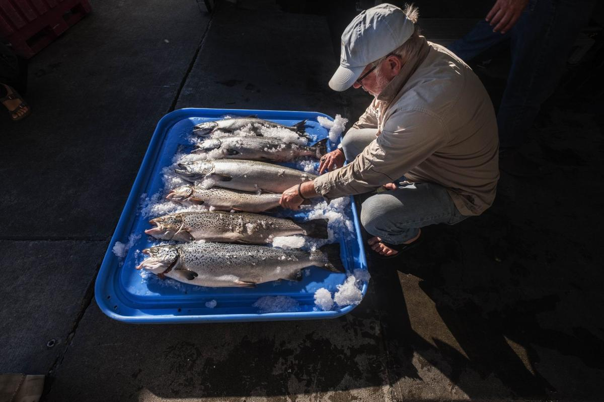 Farmed Salmon Escape