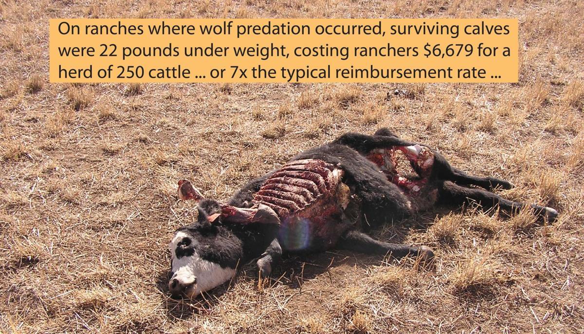 Dead calf