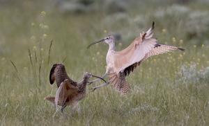 Satellites tracking Wyoming curlews