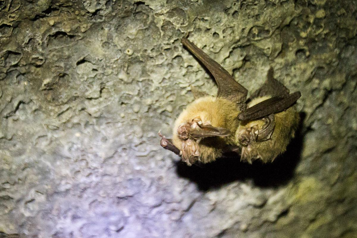 Townsend's big-eared bats