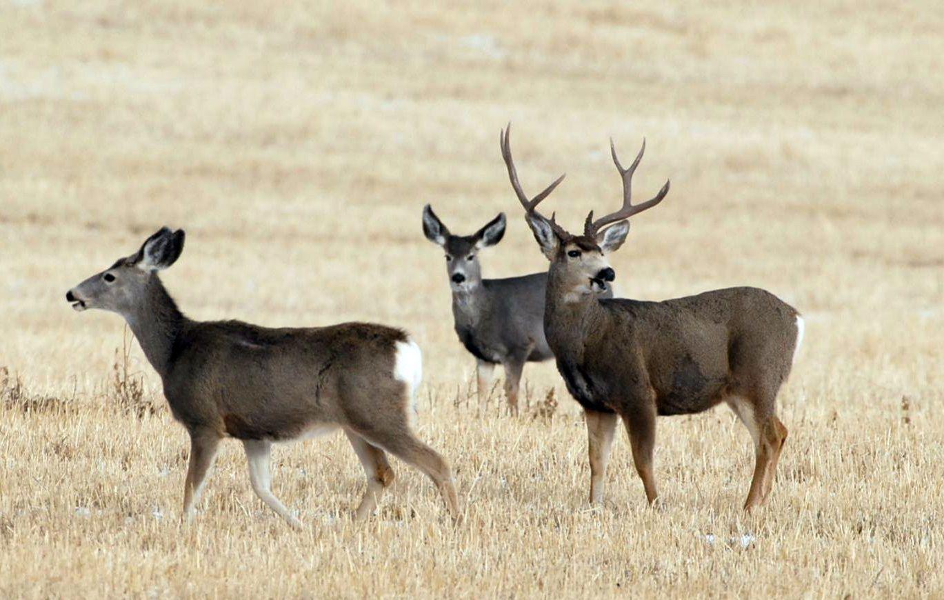 Mule deer cwd
