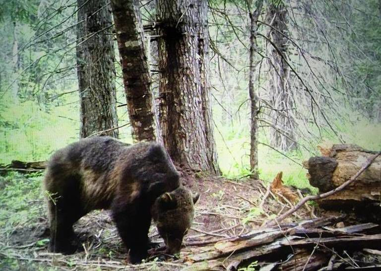 Grizzly caught on trail cam