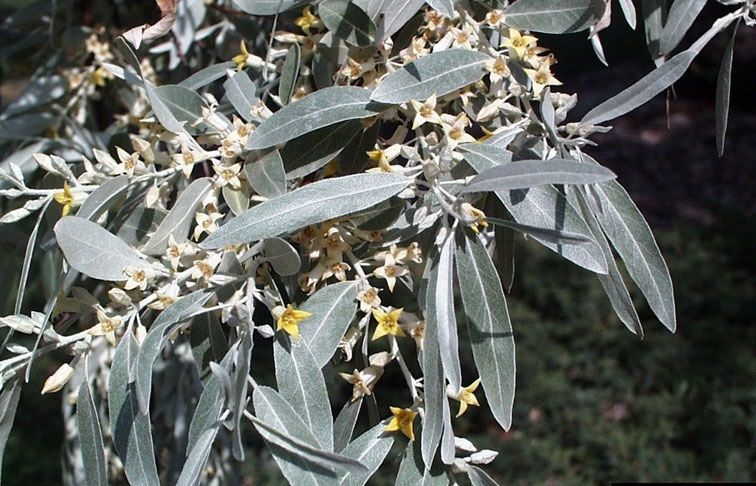 Nature Notes: Russian olive trees as ornamentals or weeds?