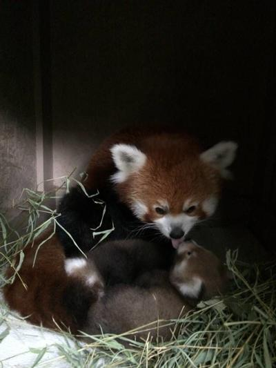 Twin red pandas born at Zoo Boise, and you can help name them