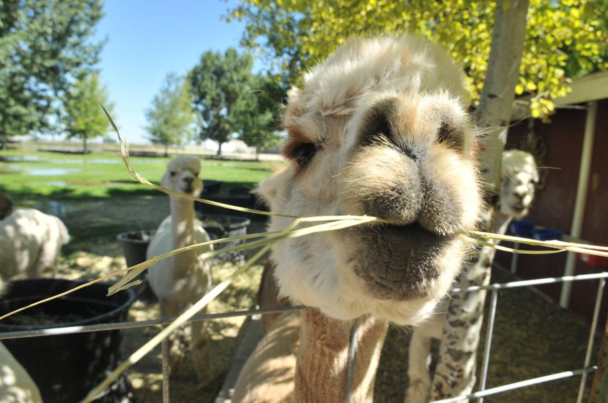 Tussy and her alpacas: A fantastical yarn about a Heyburn