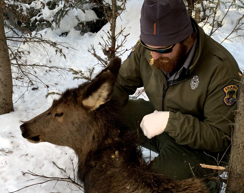 Elk calf 2