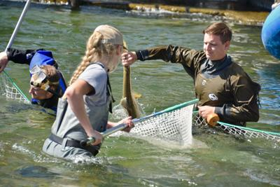 Rounding up Chinook salmon at the Sawtooth Hatchery