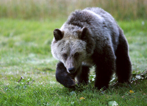Appeals court: Judge was right to revive grizzly protections