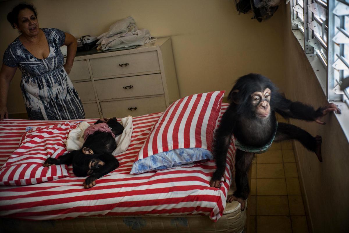 Cuba Apartment Chimps