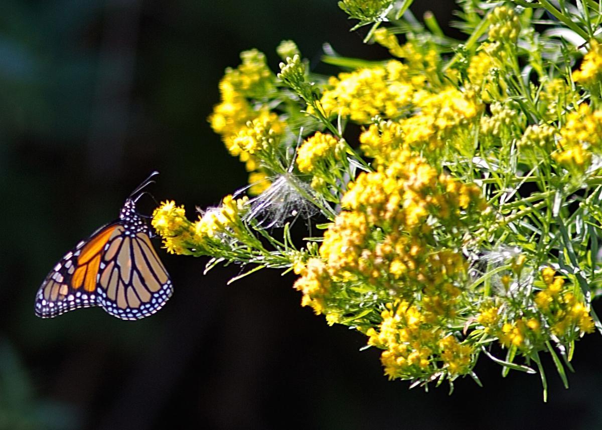 Tagging monarch butterflies