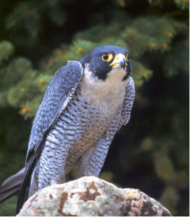 Downtown Boise Peregrine Falcon Nest Has 4 Eggs