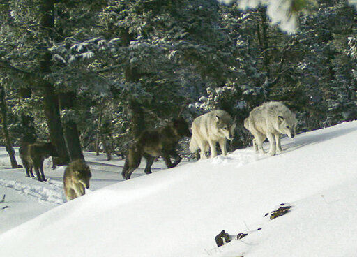 New wolf killing laws trigger push to revive US protections