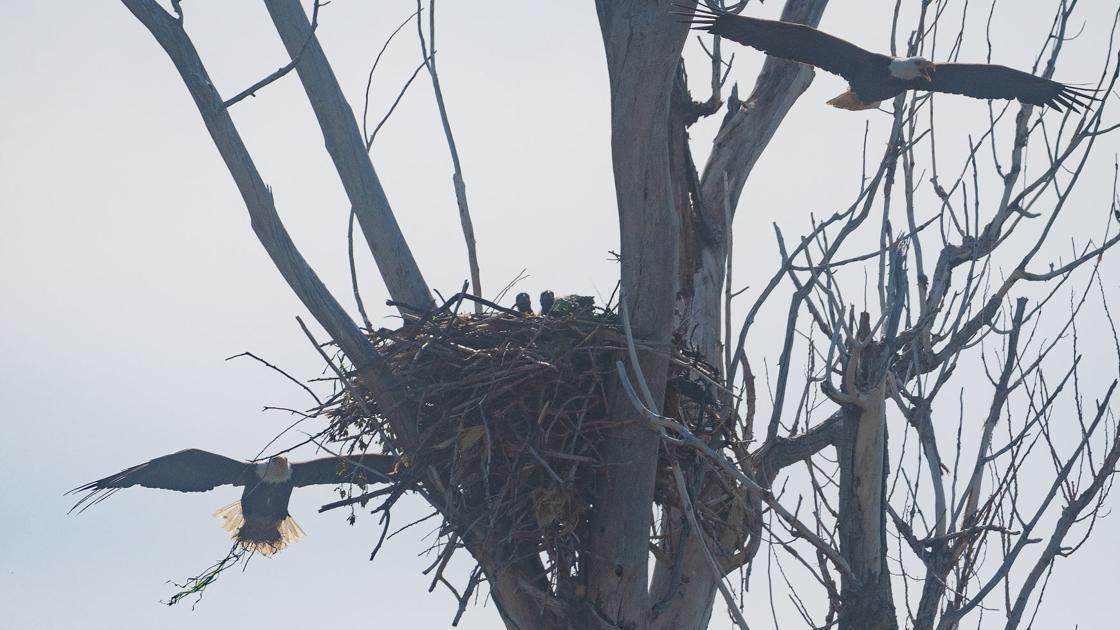 Bald eagles kill 54 sheep at Magic Valley farm