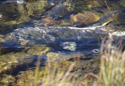 Chinook salmon in Pole Creek