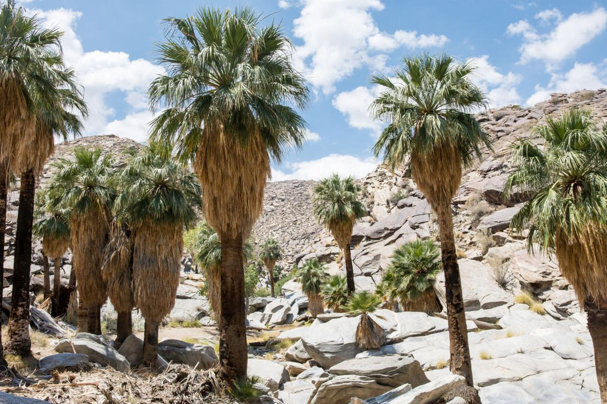 Palms are among several tree species that off-gas natural but potentially harmful air pollution when the weather heats up.