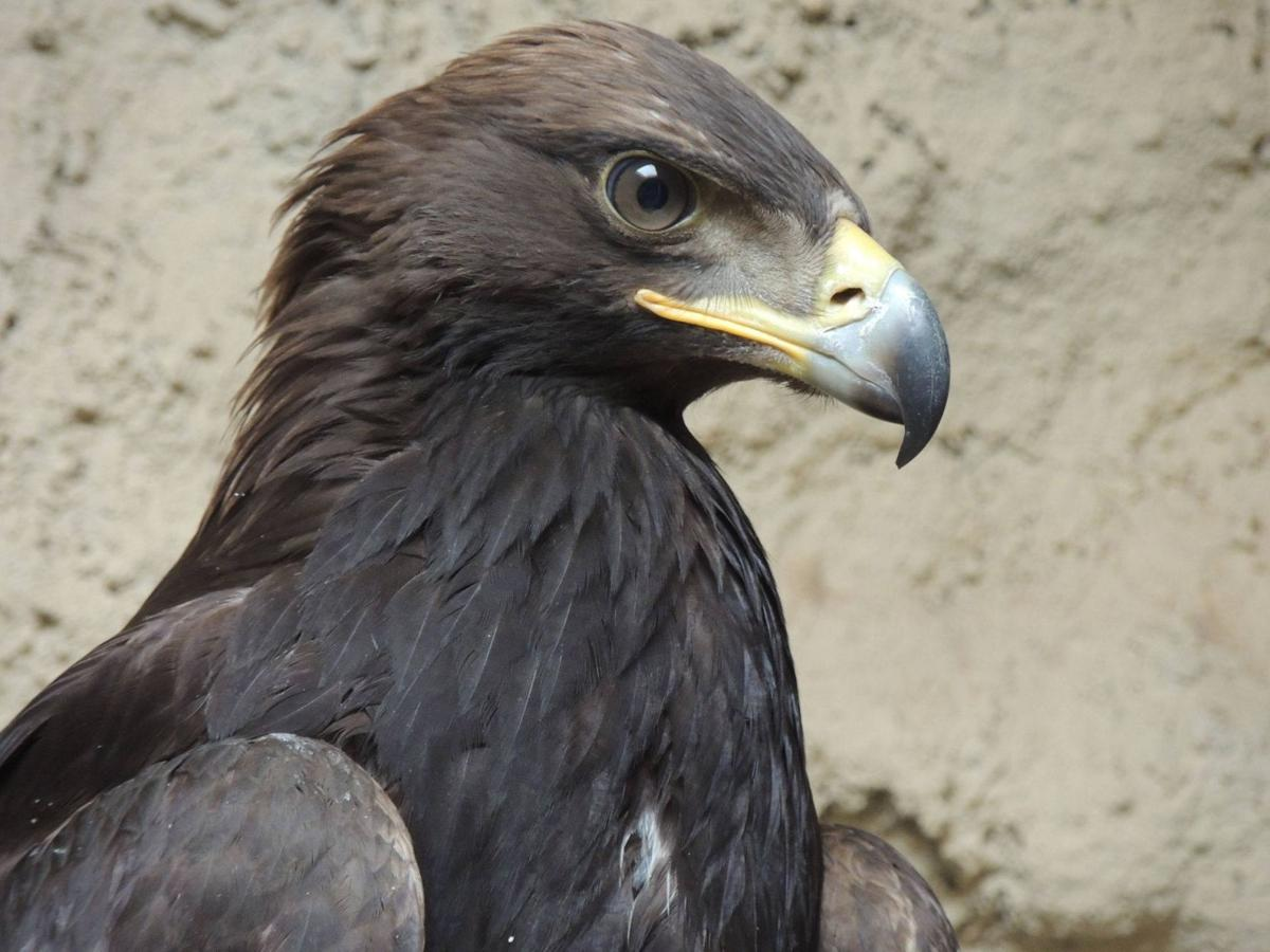 2 golden eagles were shot near Oakley. Fish and Game wants to know ...