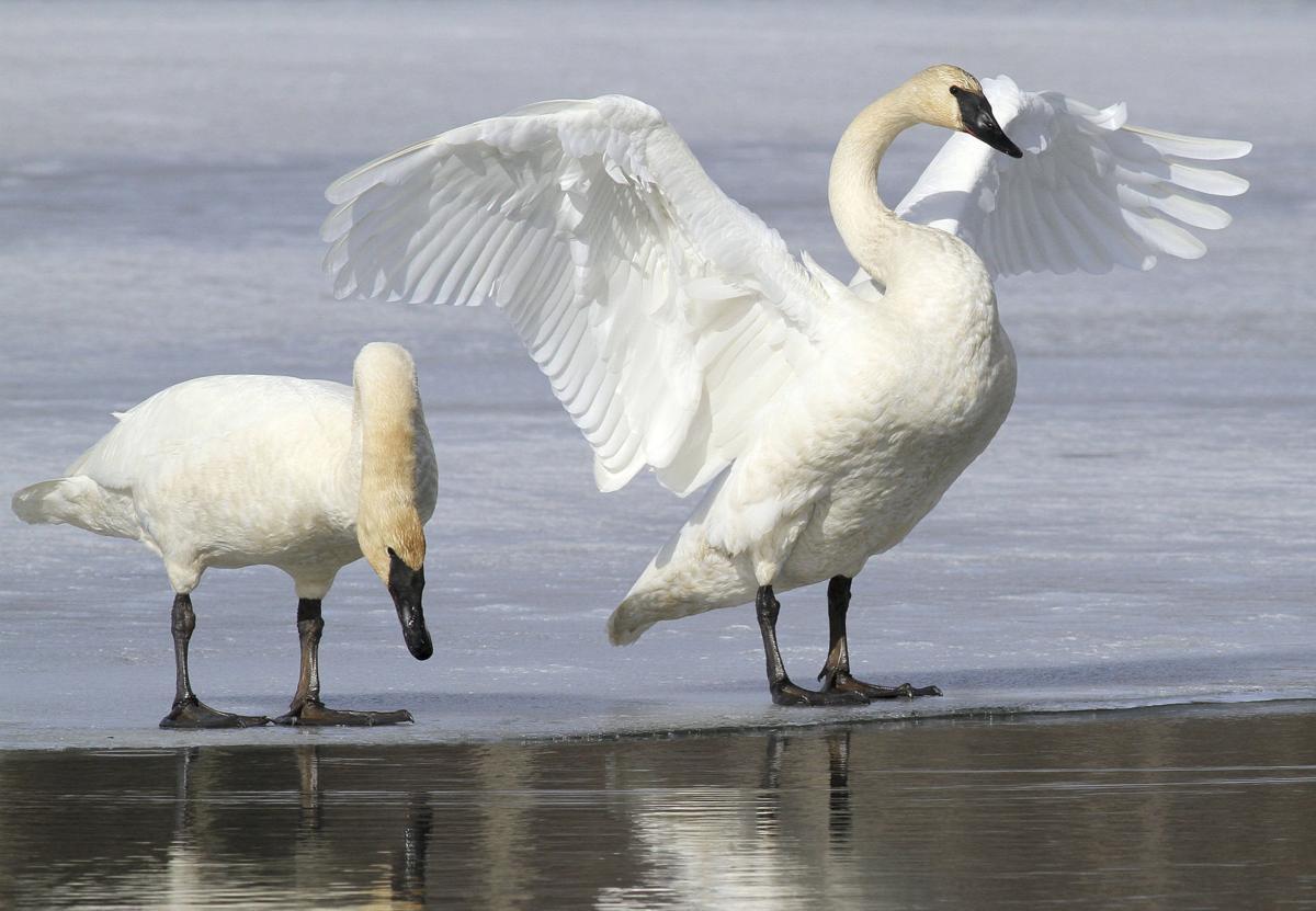 Swan Hunting