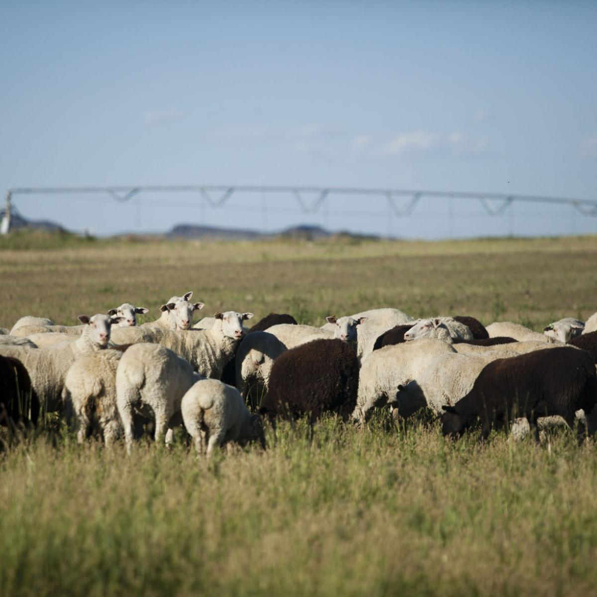 Domestic sheep milk production for cheese gets attention
